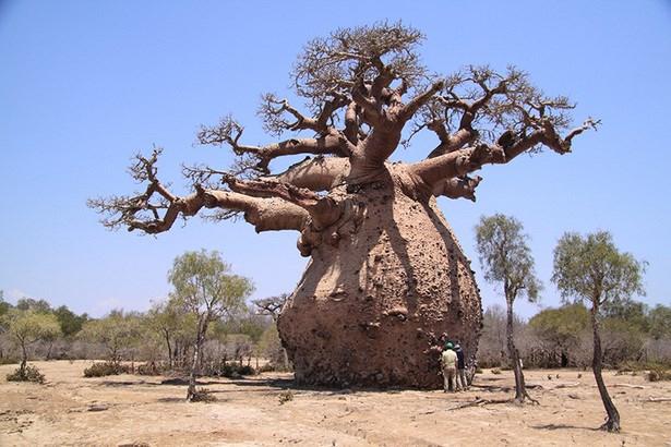 post-5-curiosidades-baoba-poeta-maior-arvore-longevidade