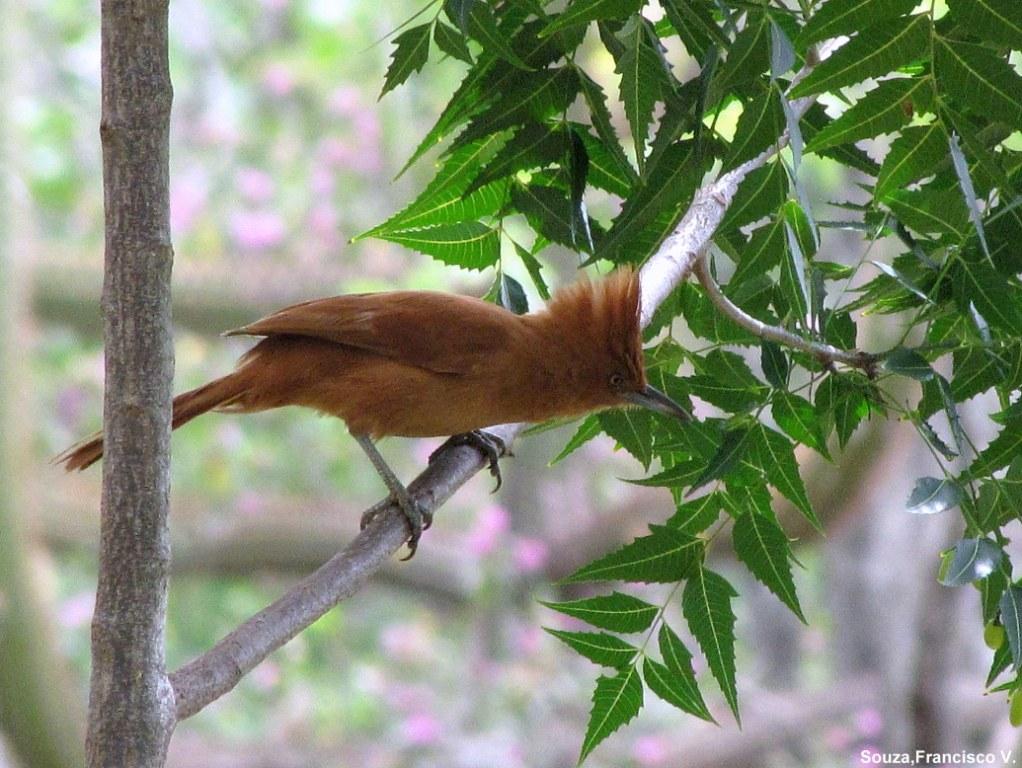 post-animais-fauna-rn-casaca-de-couro-passaro