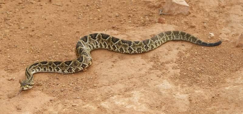 post-curiosidade-natal-1600-cobra-cascavel